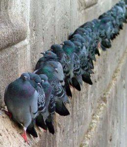 piccioni-fila-SIADD