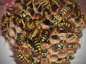 vespe-favo-SIADD-torino-disinfestazione