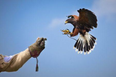 Birds Control – Allontanamento volatili con rapaci addestrati