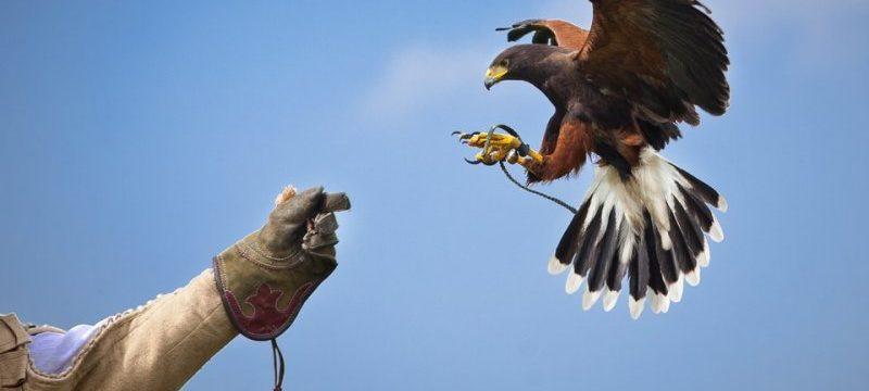 falconeria-SIADD-birds-control