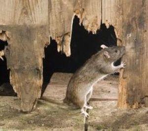 ratto-derattizzazione-siadd-torino