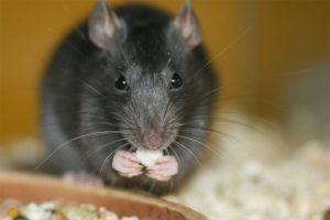 Ratto-Nero