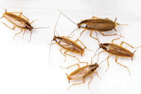 Blatte e scarafaggi – Ecco come eliminarli