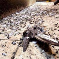 guano-piccione-bonifica-disinfestazione