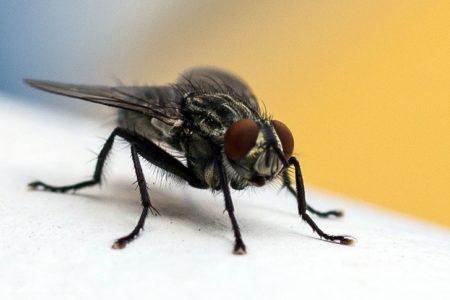 Mosche e insetti volanti – Fastidiosi ospiti