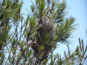 nido-processionaria-pino-disinfestazione