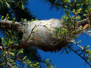 nido-processionaria-ramo-disinfestazione