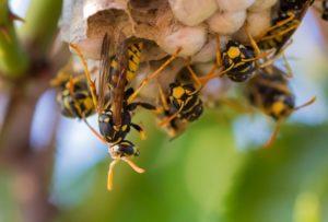 nido-vespe-SIADD-disinfestazione