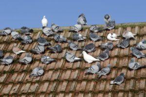piccioni-problema-infestazione-tetto