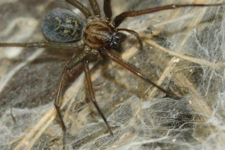 Infestazione di ragni