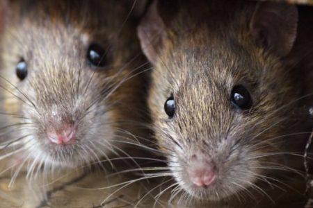 Ratti e topi – Falsi miti da sfatare