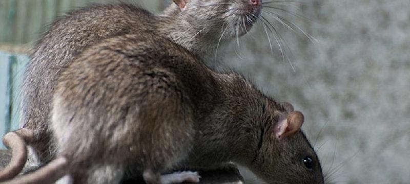 ratti-grigi-derattizzazione-SIADD