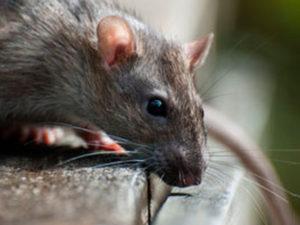 ratto-derattizzazione-SIADD