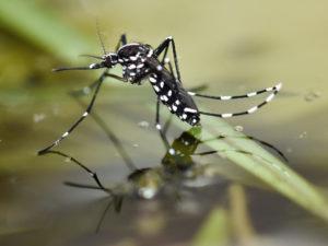 zanzara-tigre-aedes-albopictus
