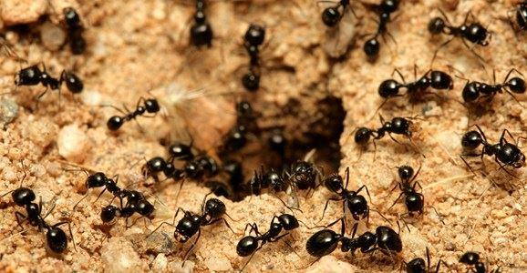 formiche-nido-disinfestazione-Torino