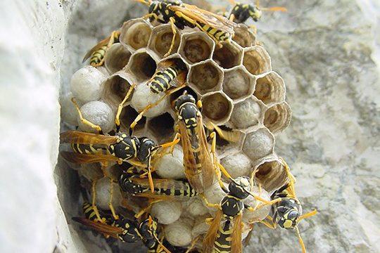nido-vespe-calabroni-disinfestazione