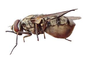 mosche degli allevamenti