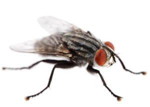 mosche della carne
