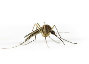 zanzare